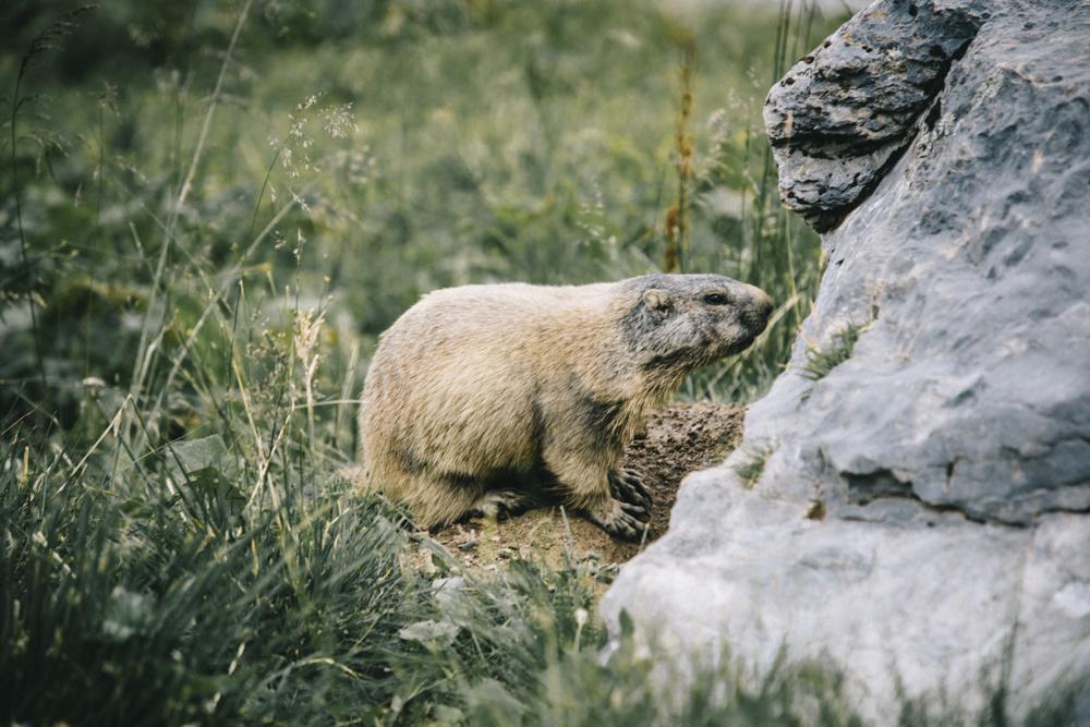 Marmotte sur le sentier en direction des lacs merles. crédit photo : Clara Ferrand - blog WIldroad