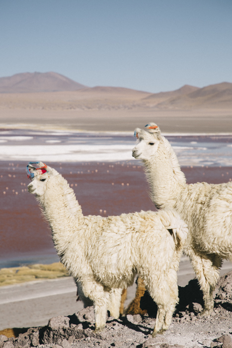 Lamas au laguna Colorada