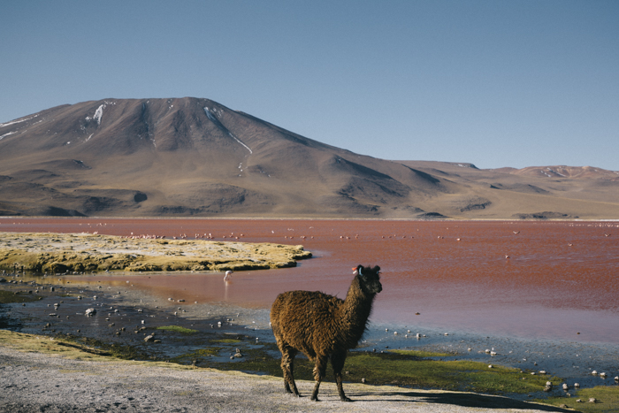 Lama avec la Laguna Colorada