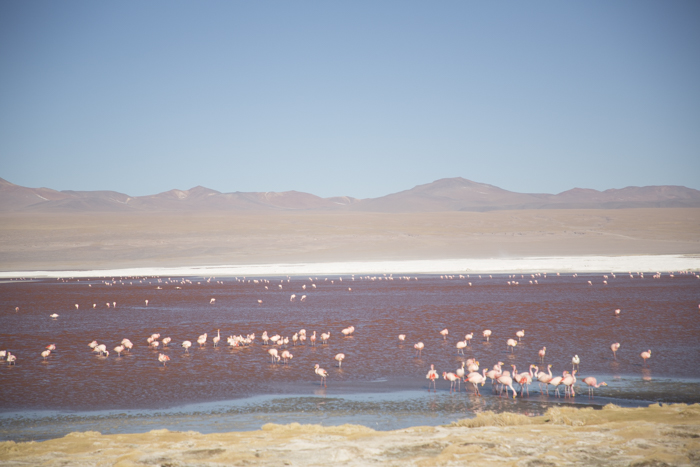 Flamants roses au Laguna Colorada