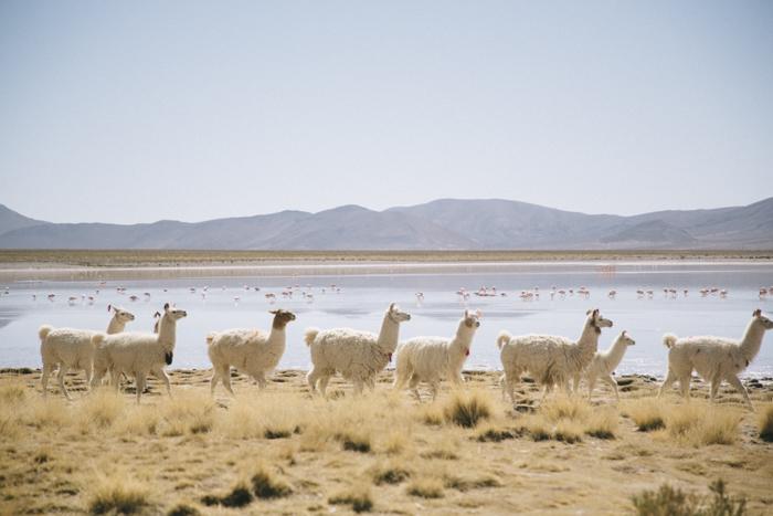 Lamas Sur Lipez Bolivie