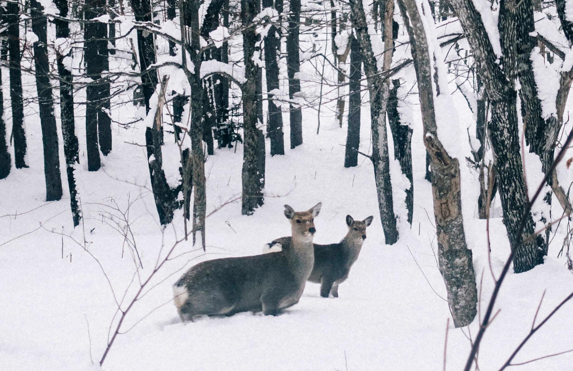 cerfs wakkanai wildlife hokkaido