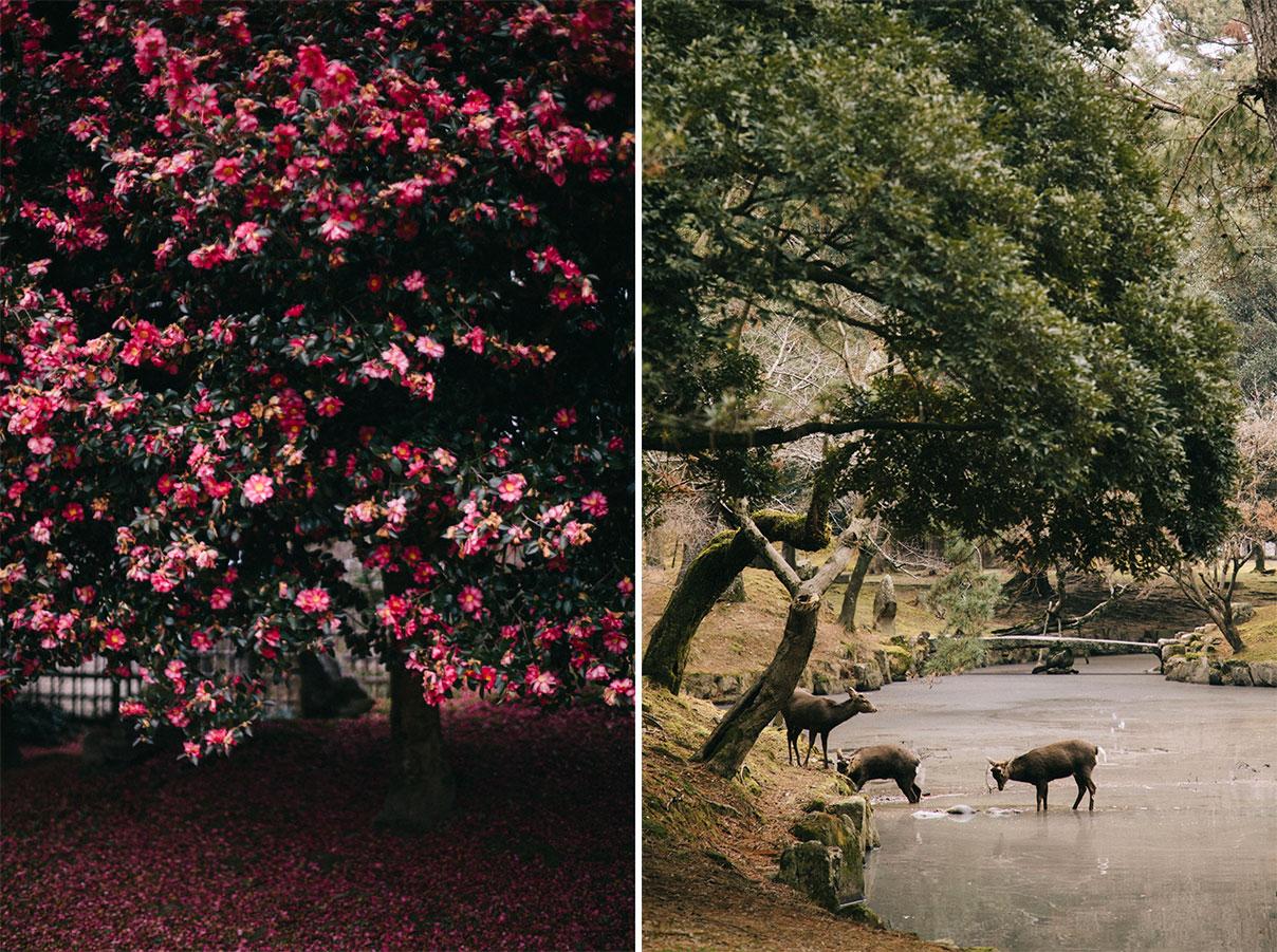 nara city daim camelia japonais itinéraire visite