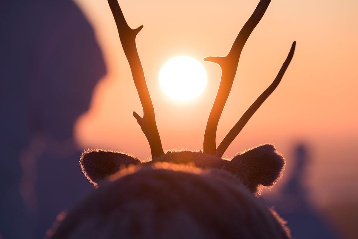 Le renne Aïlo et ses bois