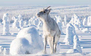 Renne Aïlo laponie finlandaise hiver