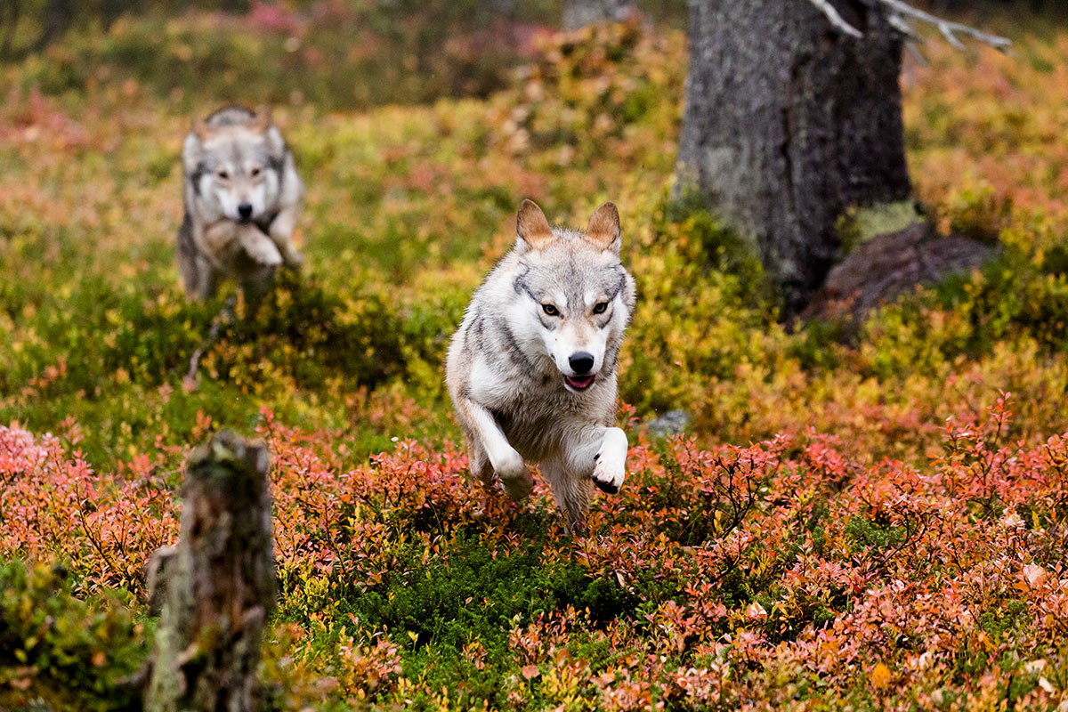 Laponie finlandaise loup film voyage tournage animalier documentaire