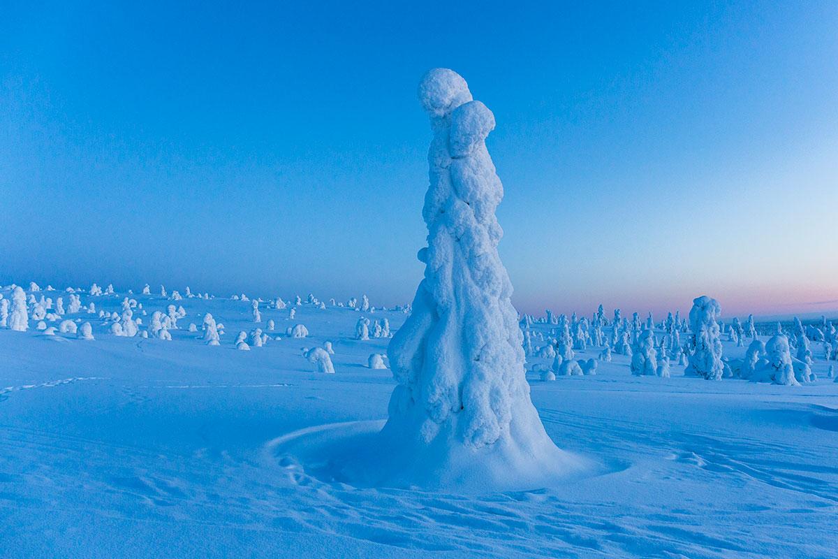 Sapin blanc laponie voyage hiver finlande