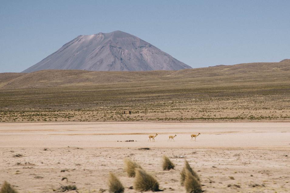Vigogne dans le parc aguadas blanca au Pérou zoom avec le reflex Canon
