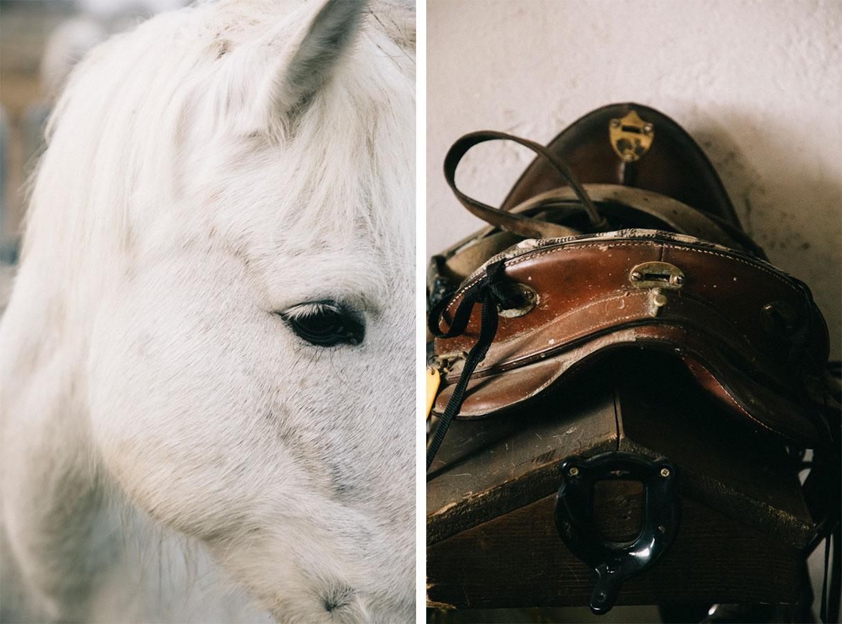 Les chevaux blancs camarguais avant la balade dans les marais