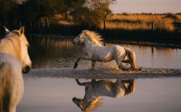 Un cheval camarguais lancé au Galop dans le mas des Barres