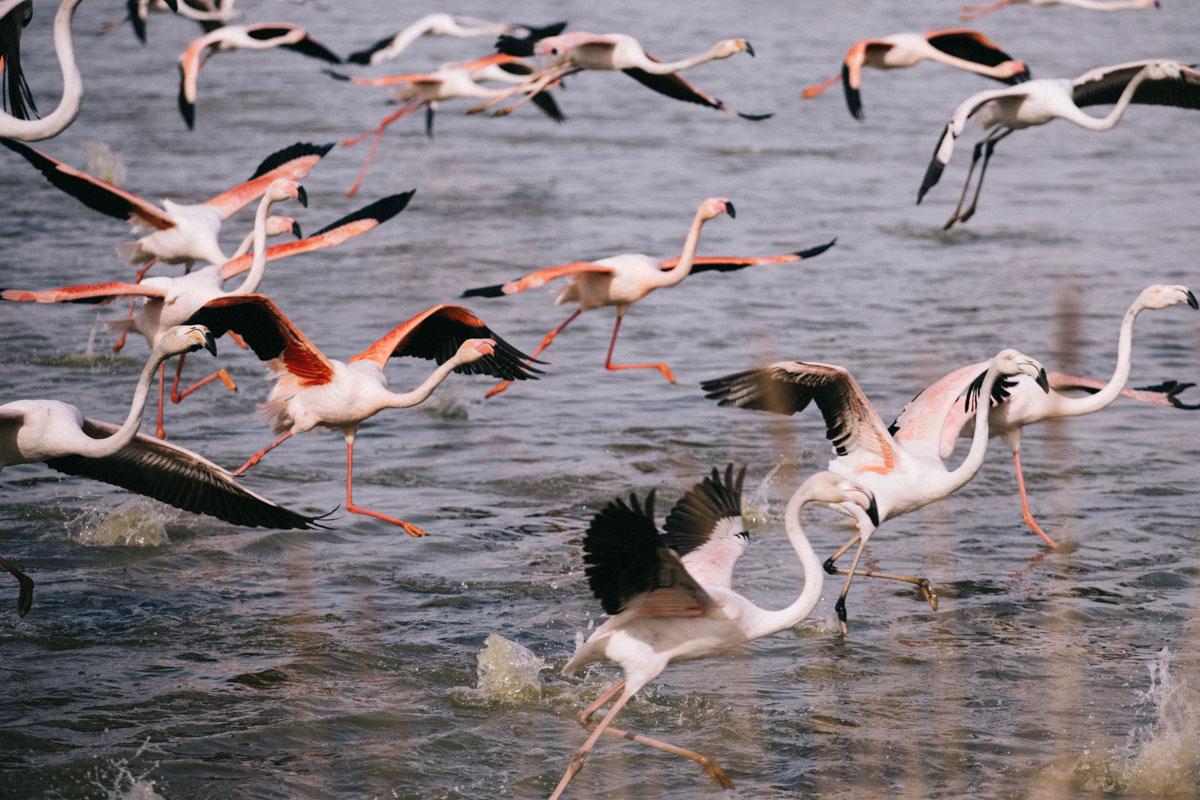 Voir les flamants roses en Camargue au pont de Gau le parc ornithologique