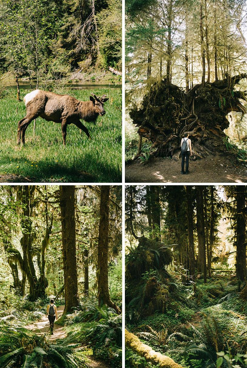 Hoh Rainforest et la faune dans la péninsule olympique