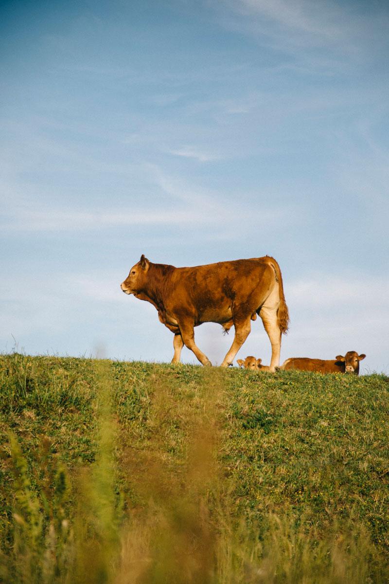 une vache en creuse durant le course en stop