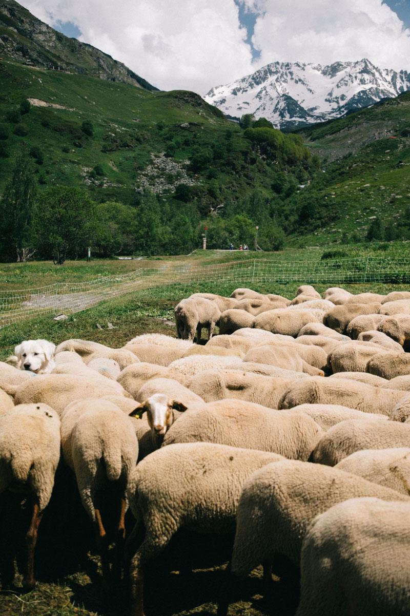 troupeau de mouton aux Ménuires
