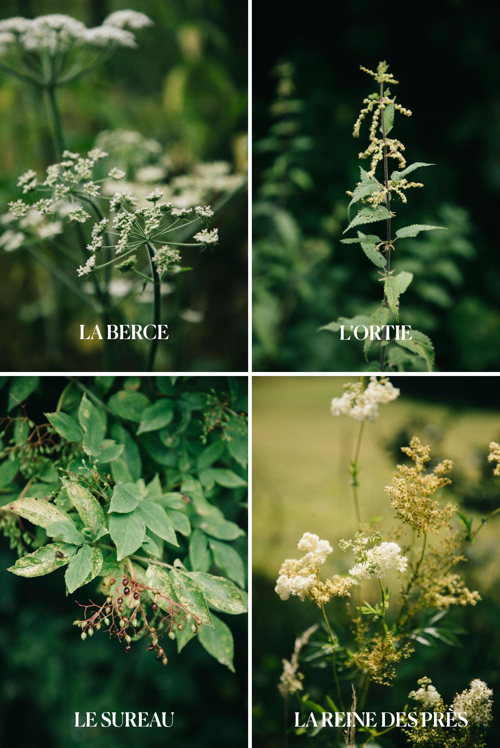 les plantes sauvages : sureau, ortie, reine des près, berce