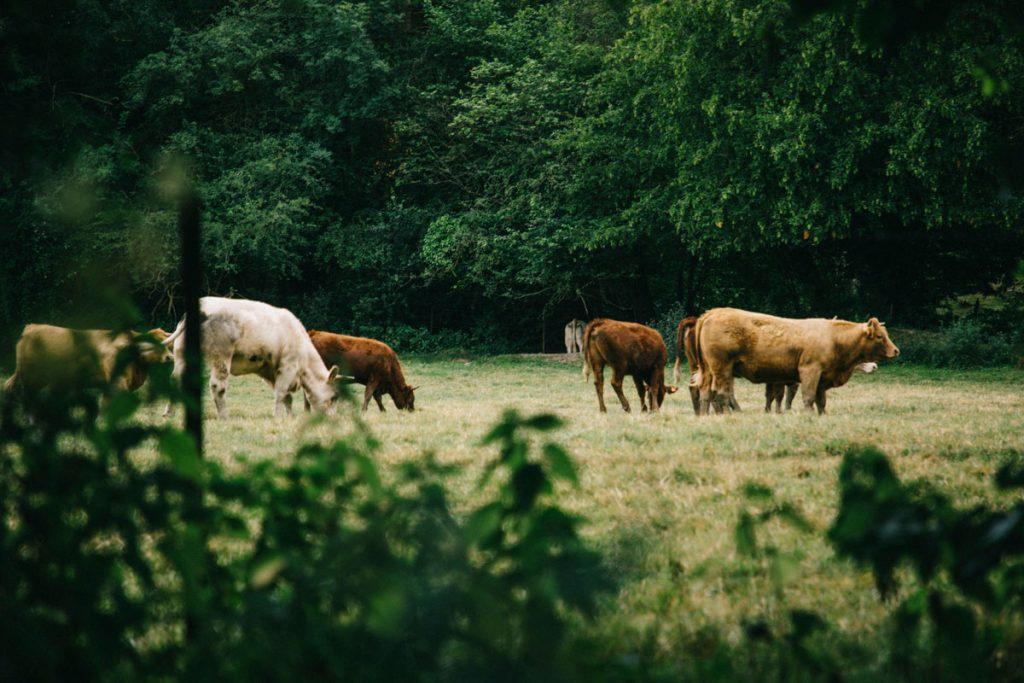 les vaches dans la région de la Thiérache