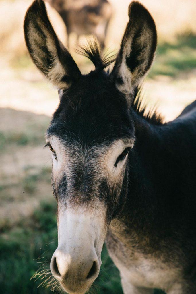 les ânes du domaine de Beaulieu