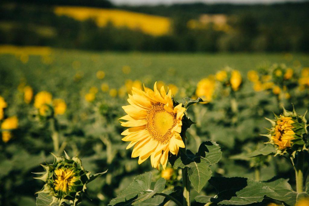 les tournesols en fleuraison dans le Gers