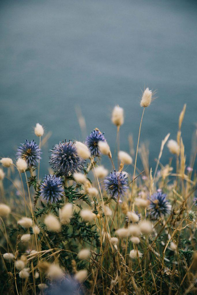 fleurs sauvages d'Argelès sur Mer