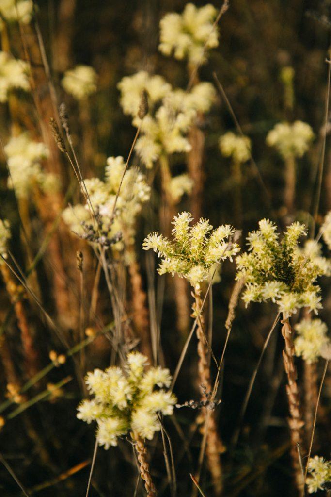 les fleurs immortelles