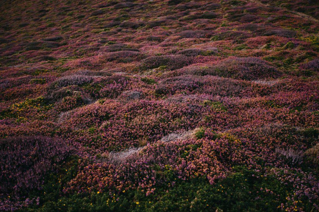 un par terre de bruyères sauvages en Normandie