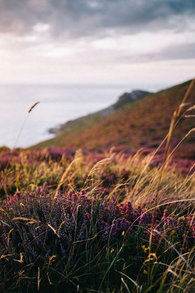 les bruyères sauvage au coucher du soleil