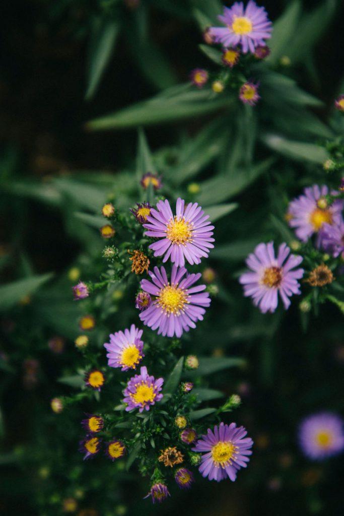les fleurs du village d'Olargues plus beau village de France