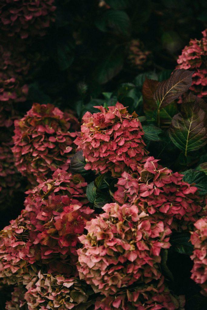 les hortensias dans le quartier de Brélévenez à Lannion