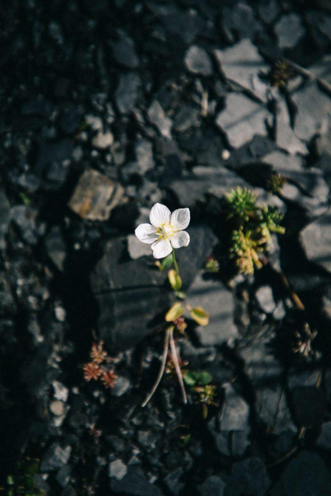 roche de schiste et fleur blanche