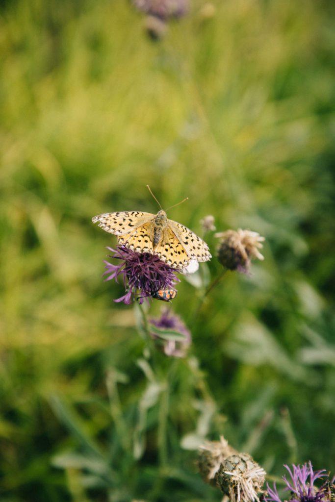 papillon au lac Lovitel