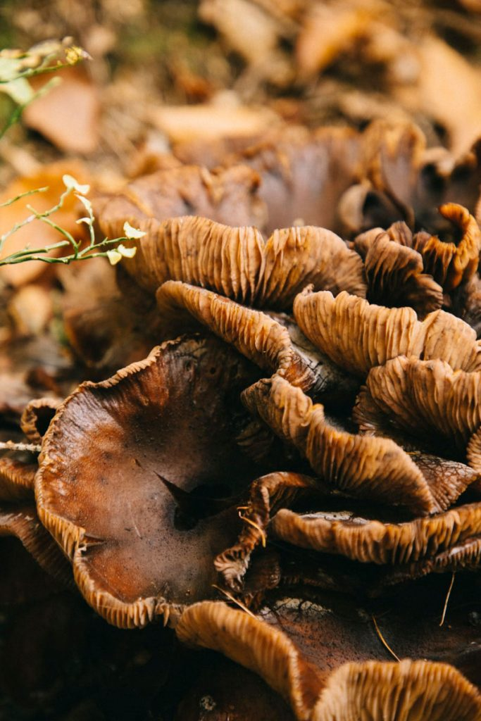 champignon à l'alpage de Charousse