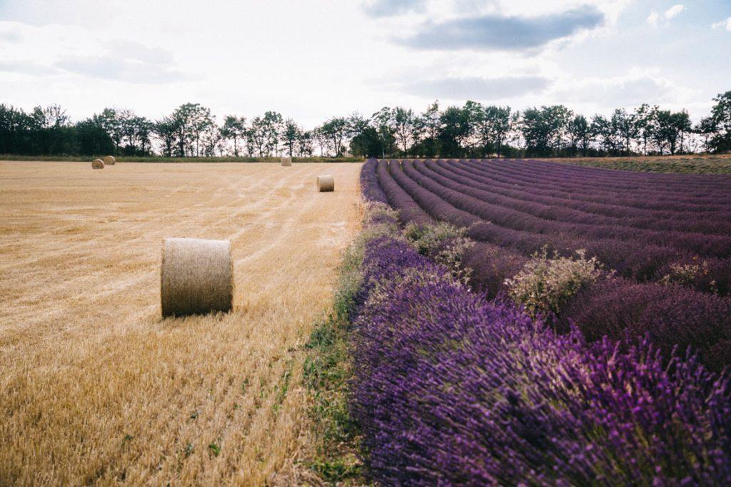 Champs de lavande et champs de blé dans le Tarn et Garonne