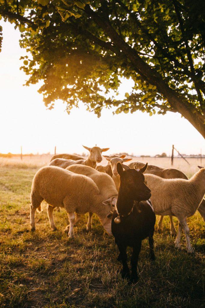 mouton à la ferme des Parreaux