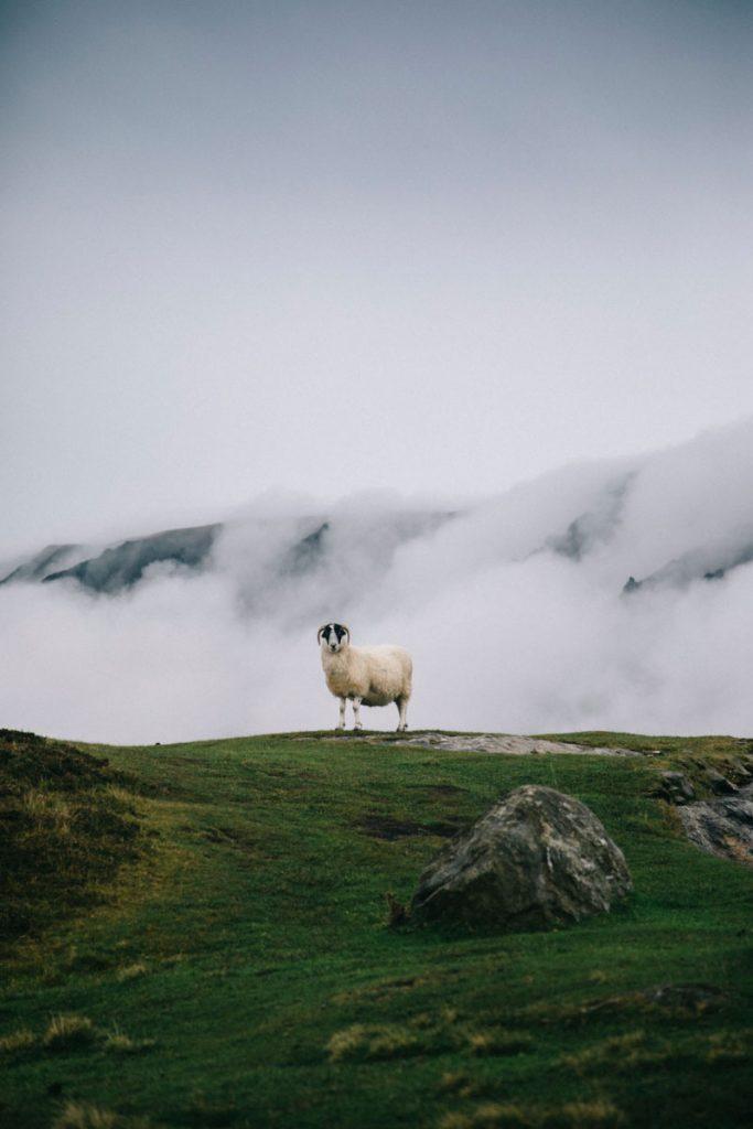 un mouton au bord des falaises de Slieve Leagues