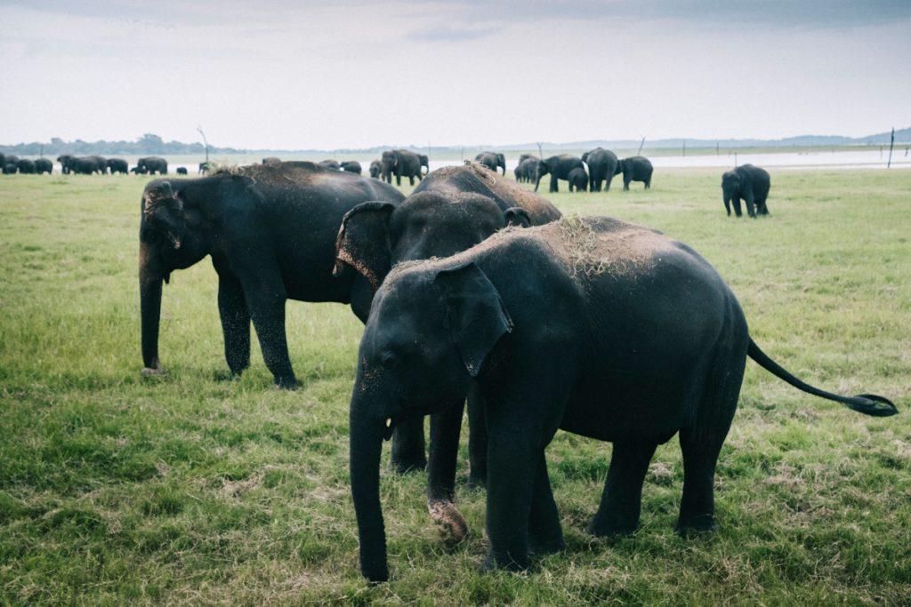 faire un safari pour voir les éléphants au Sri Lanka