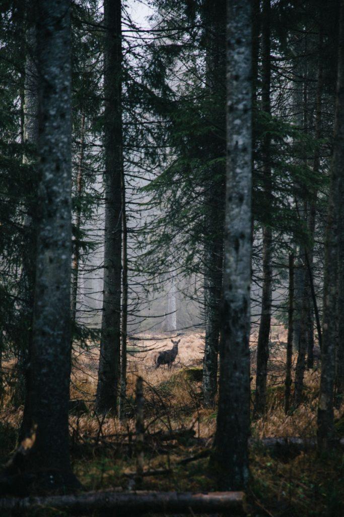 une biche dans le parc national des Tatras