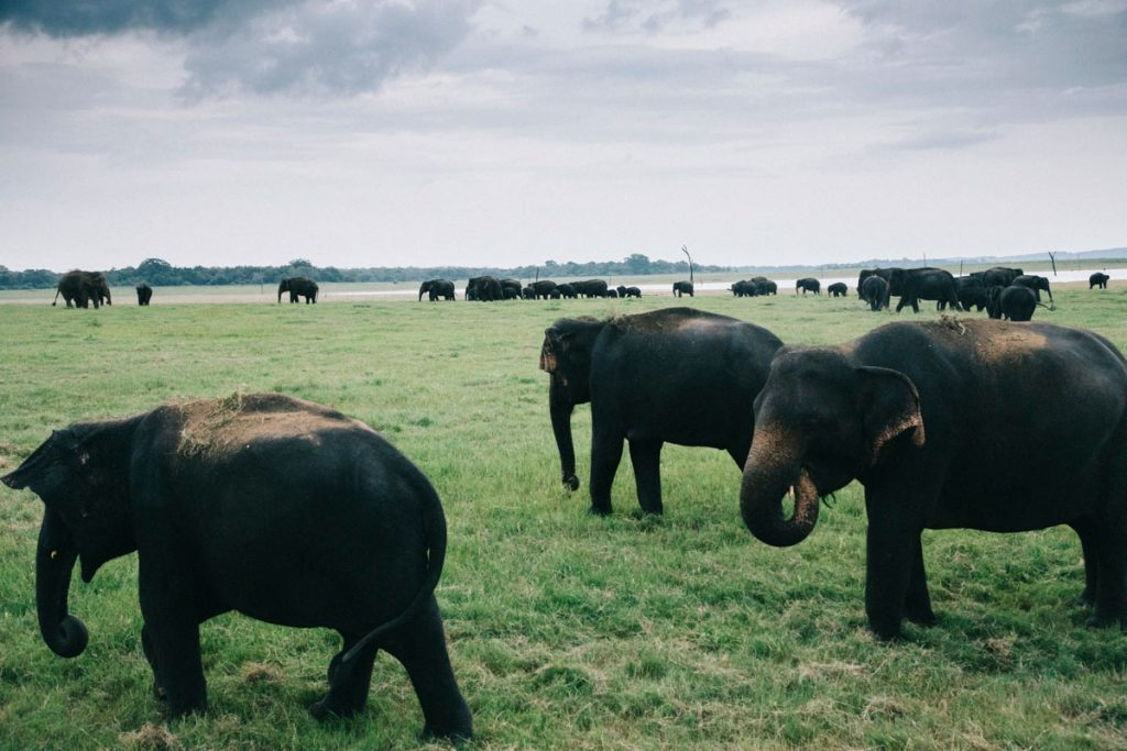 un safari au parc national de Kaudulla pour voir les éléphants