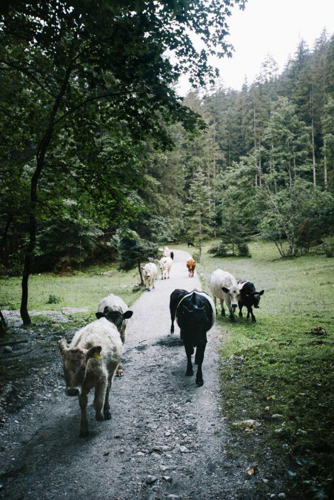 un troupeau de vache sur le sentier du lac de Gosausee