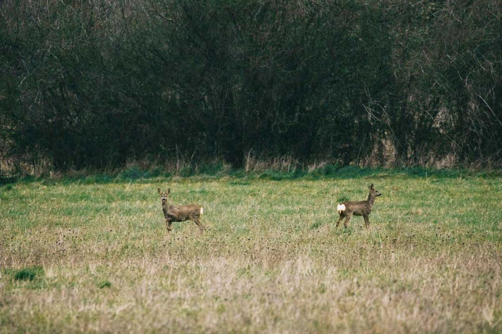 Les cerfs dans le parc régional de la Brenne dans l'Indre. crédit photo : Clara Ferrand - blog Wildroad