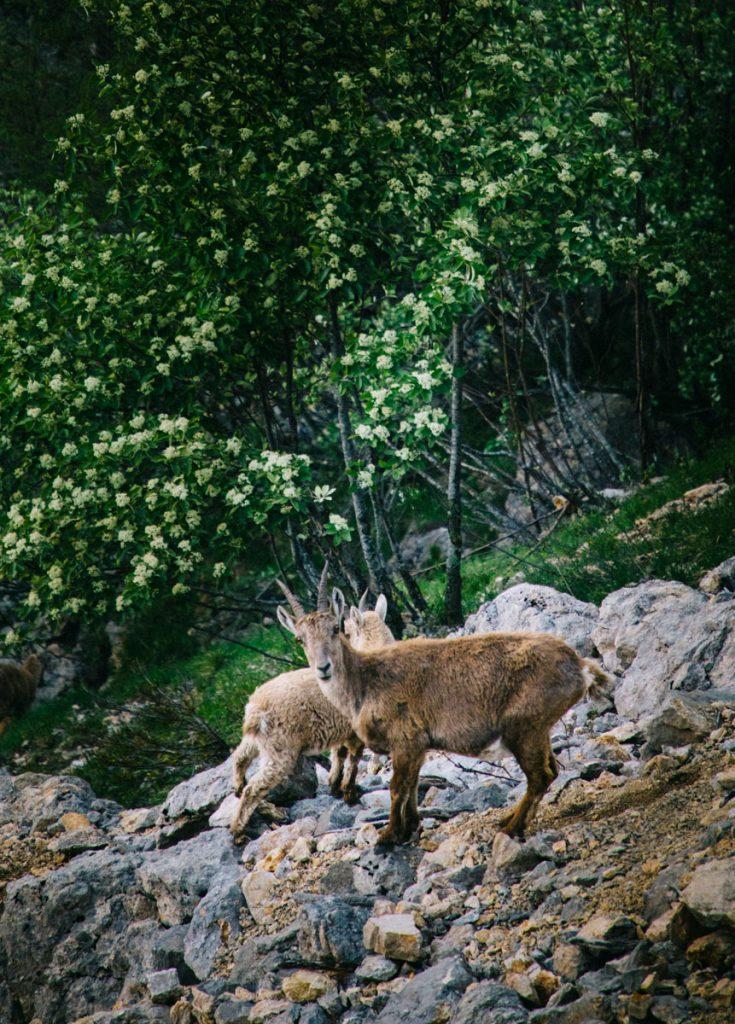 Les bouquetins dans le parc naturel régional du Vercors en Isère. crédit photo : Clara Ferrand - blog Wildroad