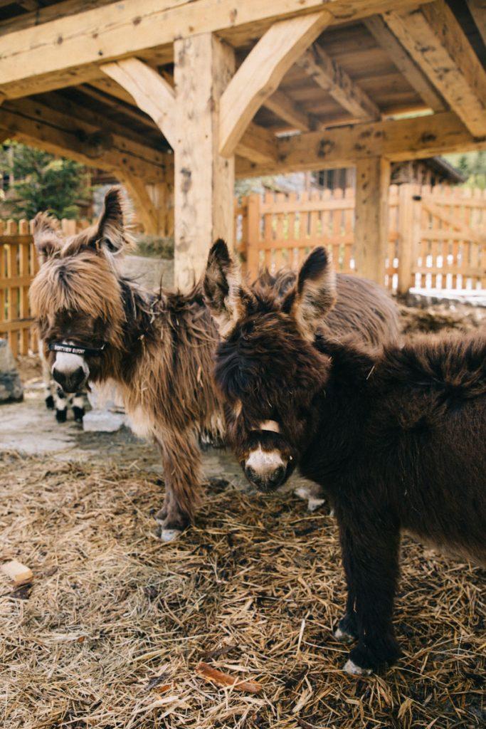 Les ânes de la ferme pédagogique dans le refuge à Meribel. crédit photo : Clara Ferrand - blog Wildroad