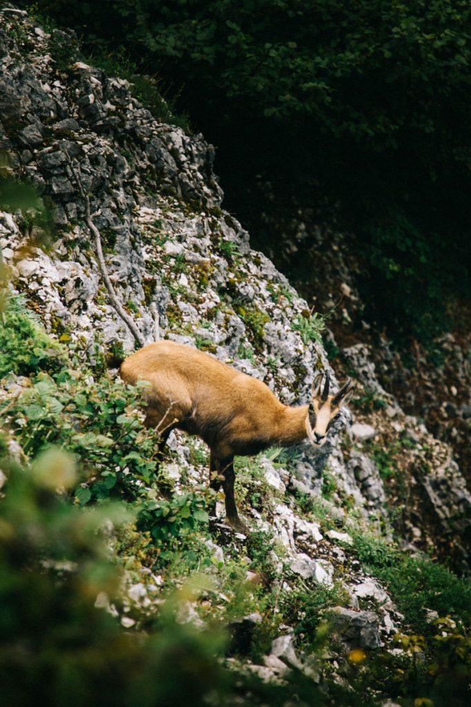 Les chamois dans le massif du Jura. crédit photo  : Clara Ferrand - blog Wildroad