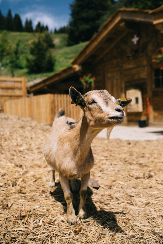 Les animaux de la ferme pédagogique à la montagne. crédit photo : Clara Ferrand - blog Wildroad