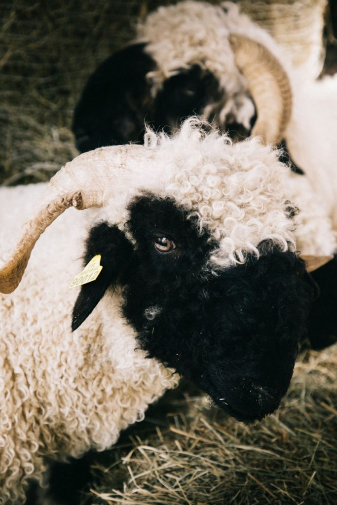 Les moutons du valais dans la ferme pédagogique. crédit photo : Clara Ferrand - blog Wildroad