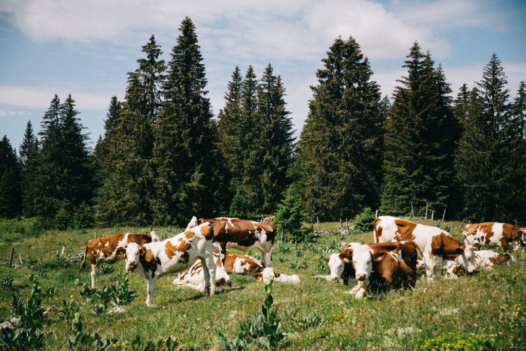 Les vaches laitières dans les alpages des hautes Combes dans le Jura. crédit photo : Clara Ferrand - blog Wildroad