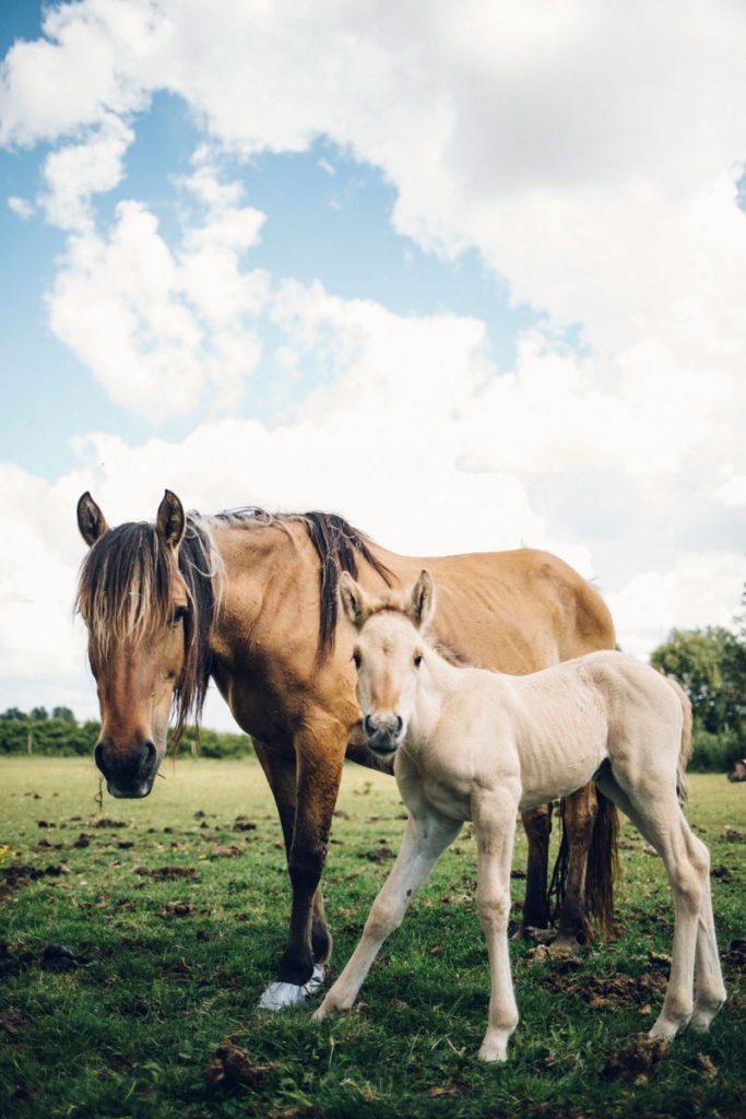 Les chevaux henson au centre équestre du domaine du marqueterie. crédit photo : Clara Ferrand - blog Wildroad