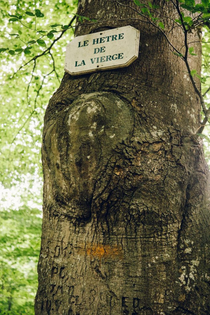 Le hêtre de la vierge dans la foret domaniale de Crecy en baie de Somme. crédit photo : Clara Ferrand - Blog wildroad