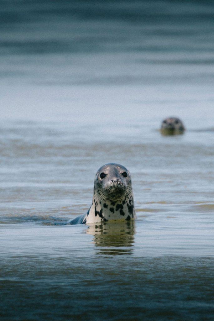 Observer les phoques dans la baie de somme une activité plein air à faire lors d'un week-end en baie de Somme. crédit photo : Clara Ferrand - blog Wildroad