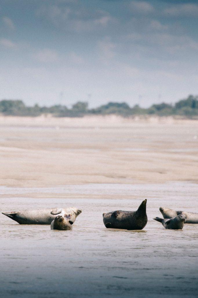 Les phoques gris et les veaux marins de la baie de Somme à la pointe du Hourdel. crédit photo : Clara Ferrand - blog Wildroad