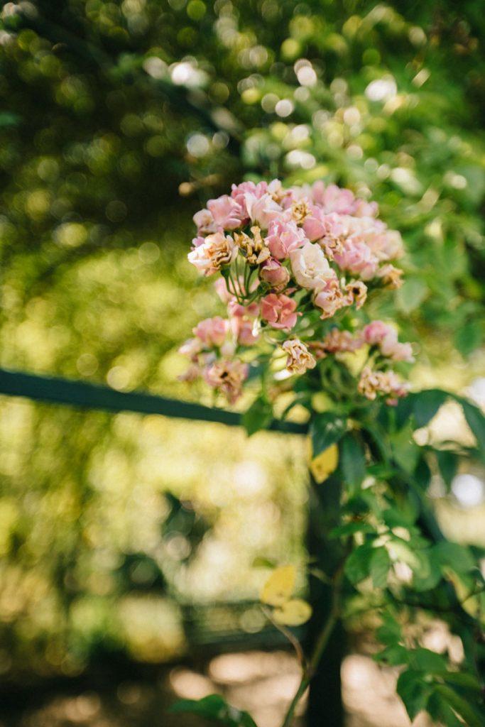 La roseraie du jardin botanique de Marnay-sur-Seine. crédit photo : Clara Ferrand - blog Wildroad